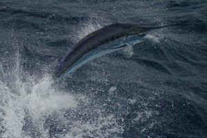 Beautiful Blue Marlin